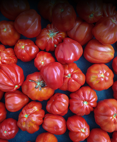 cannestrino tomatoes
